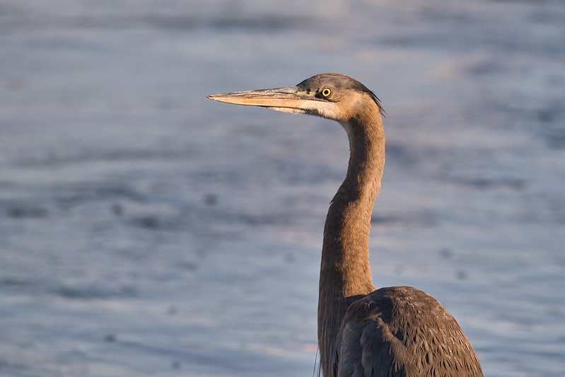 Great Blue Heron On A Cold Morning