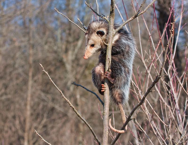 Opossum Up A Tree