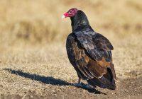 Turkey Vulture Defecated On