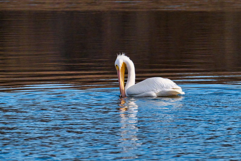 American White Pelican Eating Fish 1