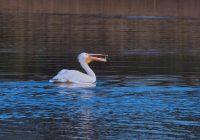 American White Pelican Eating Fish 2