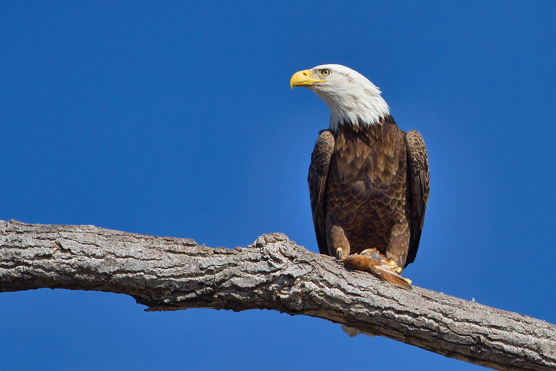 Bald Eagle Eating Bird