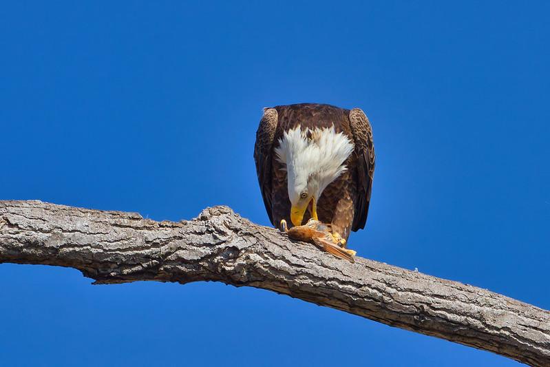 Bald Eagle Eating Bird 2