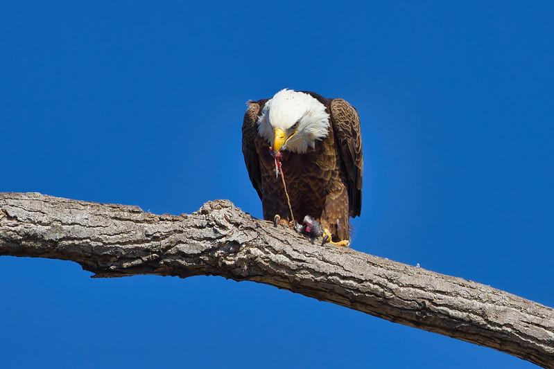 Bald Eagle Eating Bird #3