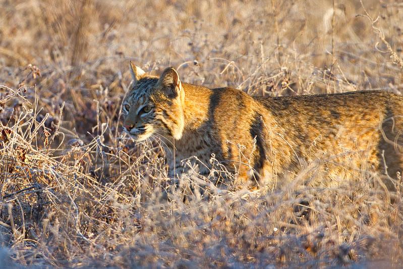 Bobcat Stalking Birds