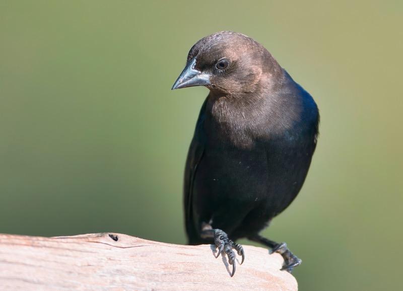 Brown-headed Cowbird 110303-1488