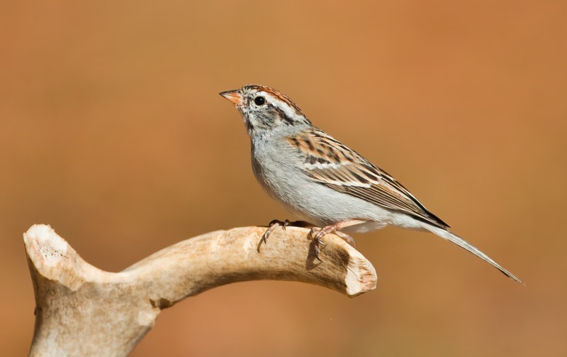 Chipping Sparrow 2105-110310