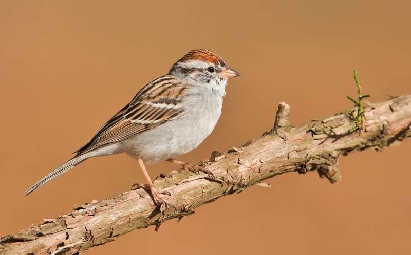 Chipping Sparrow 2358-110312
