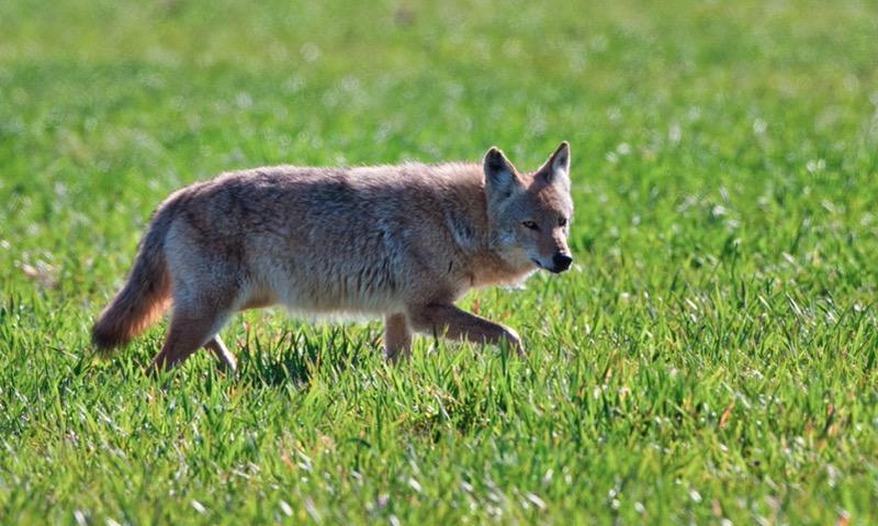 Coyote 2-090301