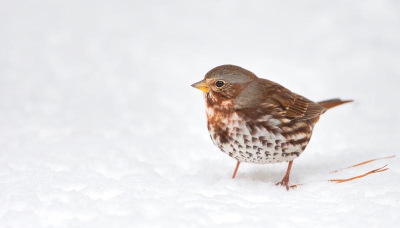 Fox Sparrow 2618-100131