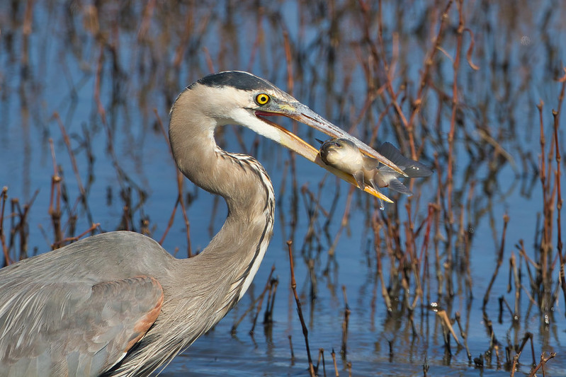 Great Blue Heron With A Freshwater Drum