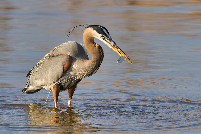 Great Blue Heron With A Shad