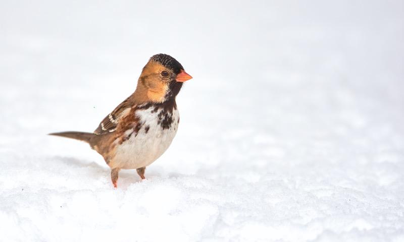 Harris's Sparrow In Snow