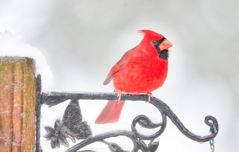 Northern Cardinal 2253-100130