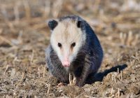 Opossum Looking At Me