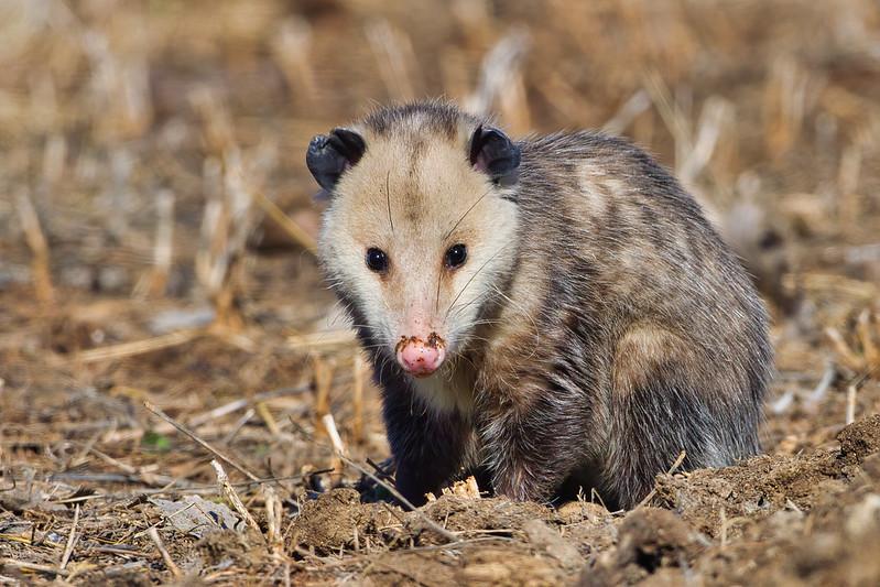 Opossum Looking Toward Me