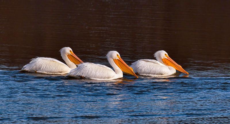 Three American White Pelicans