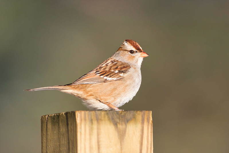 White crowned Sparrow On A Post