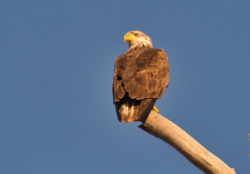 Bald Eagle 32821-1761