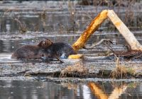 Beaver Fighting 030921
