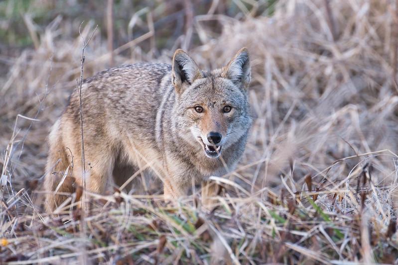 Coyote 030221-2
