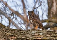Great Horned Owl With Pied-billed Grebe