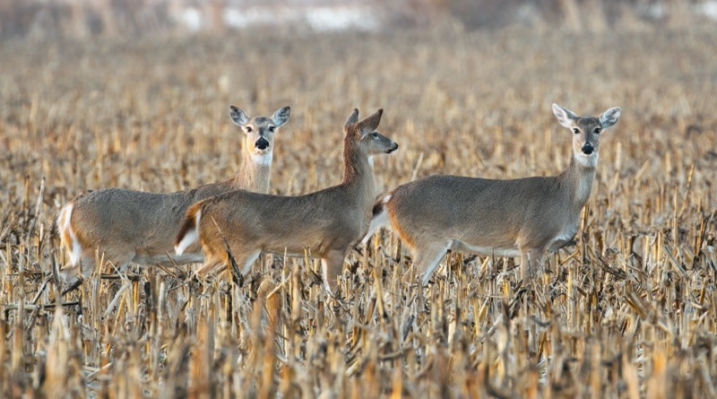 Whitetail Deer 030421-371 1