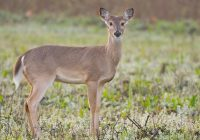 Whitetail Doe 32621-1644
