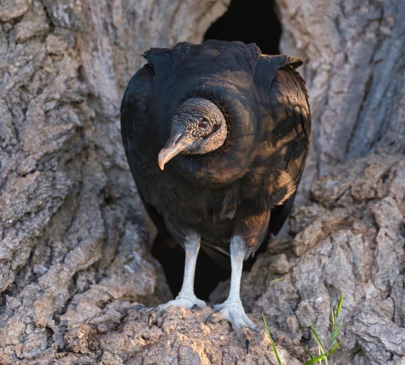 American Black Vulture 41121-2295