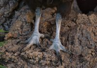 American Black Vulture Feet