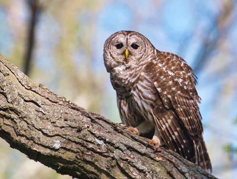 Barred Owl 41121 - 2202