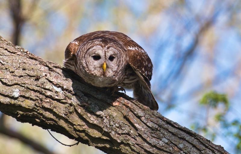 Barred Owl 41121-2280