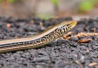 Western Slender Glass Lizard