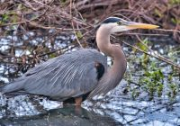 Great Blue Heron 4-18-21