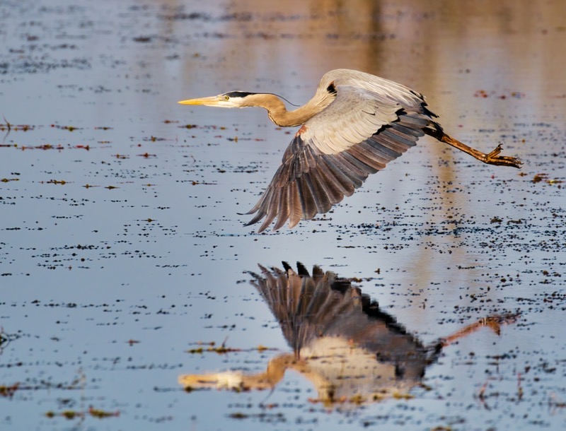 Great Blue Heron Flying 2