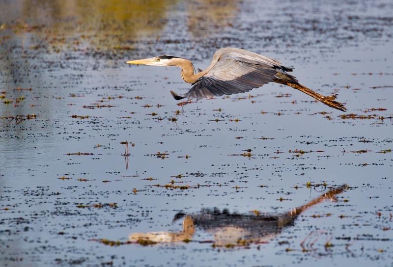 Great Blue Heron Flying 3