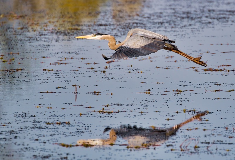 Great Blue Heron Flying 3
