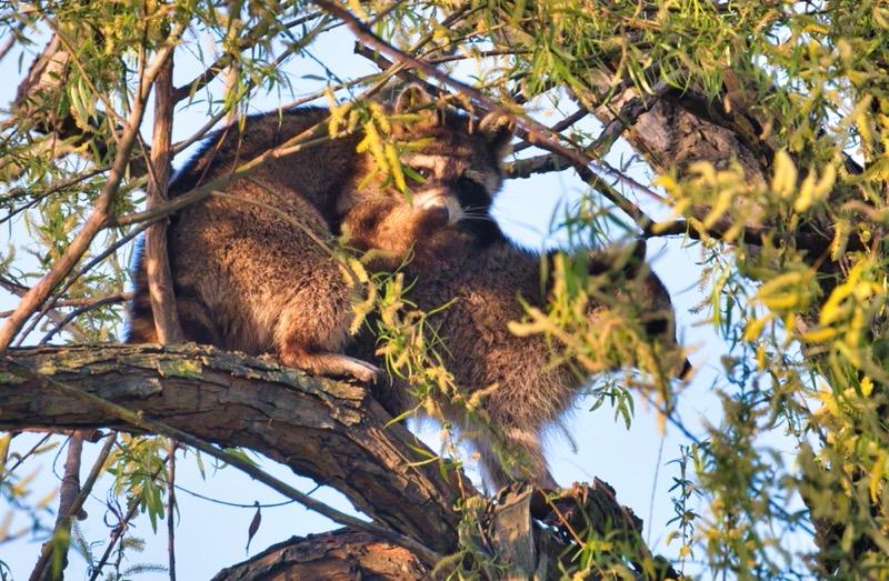 Mating Raccoons