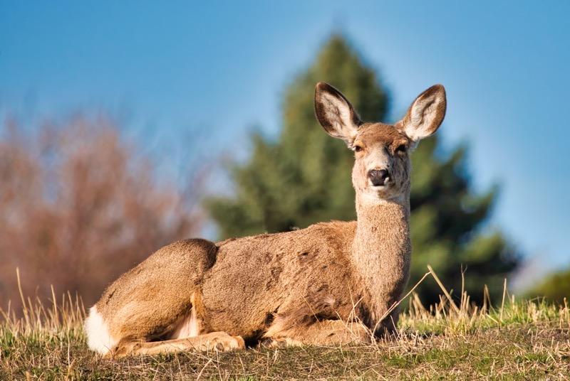 Bedded Mule Deer Doe