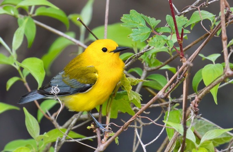 Prothonotary Warbler In The Vines