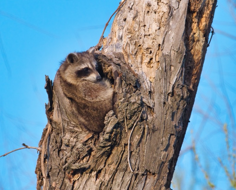 Raccoon 4121-1807A