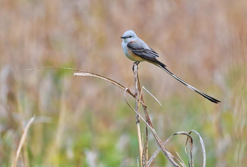 Scissor-tailed Flycatcher 4-18-21