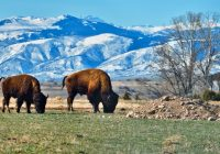 Sheridan, Wyoming Bison
