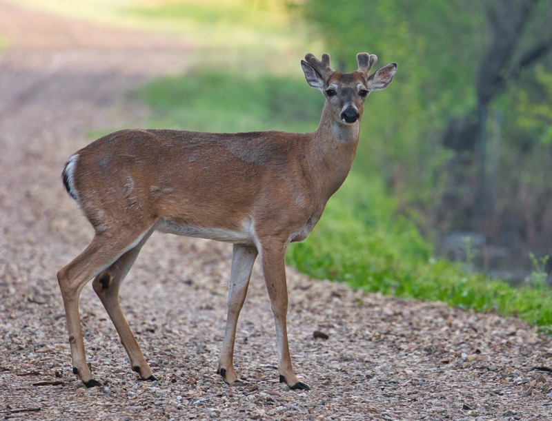 Whitetail Buck Growing New Antlers