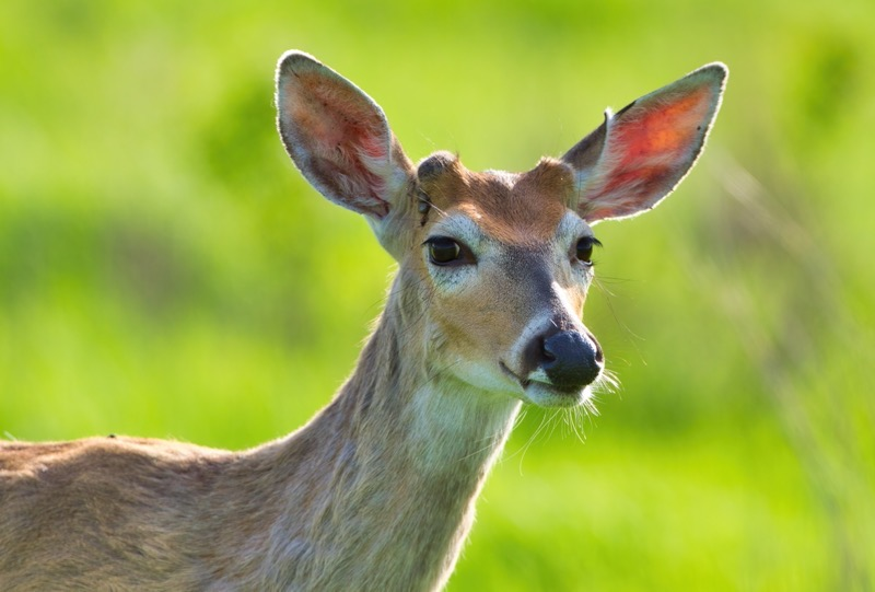 Whitetail Buck Starting New Antlers