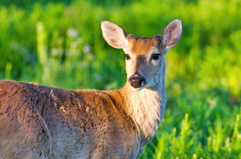 Whitetail Buck Starting New Antlers #2
