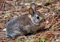 Baby Cottontail Rabbit In My Yard