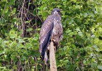 Young Bald Eagle Close Up