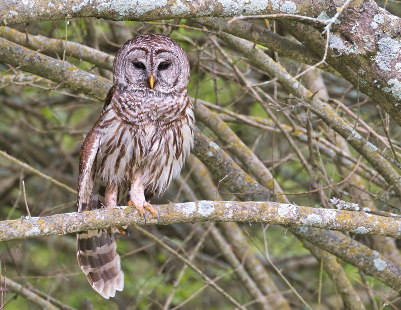 Barred Owl Stretching A Leg