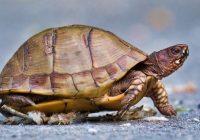 Box Turtle 5821-3606